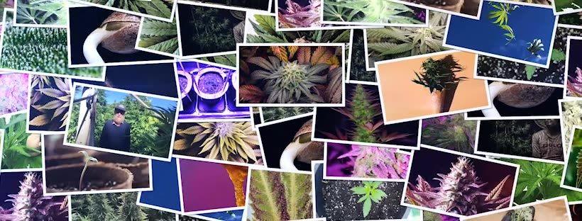 most popular strains on seedsman