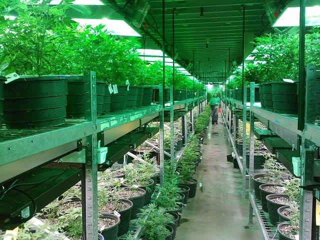 career in cannabis cultivation