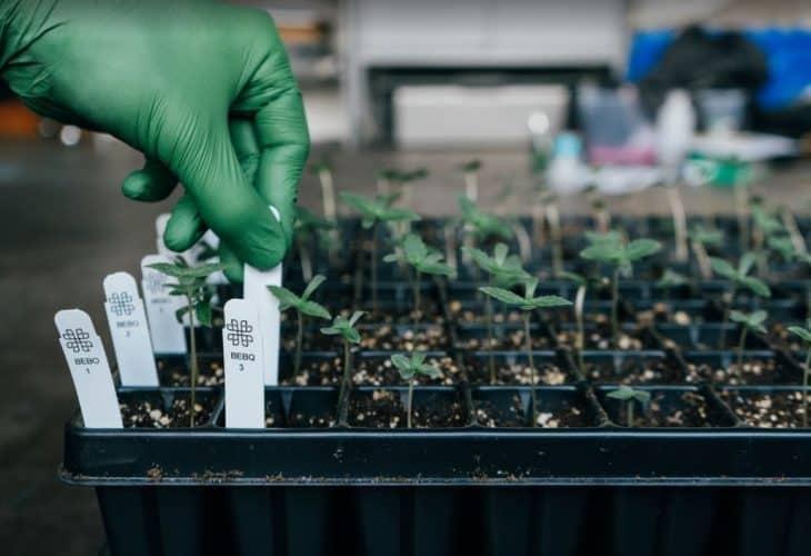 cannabis genotyping phylos