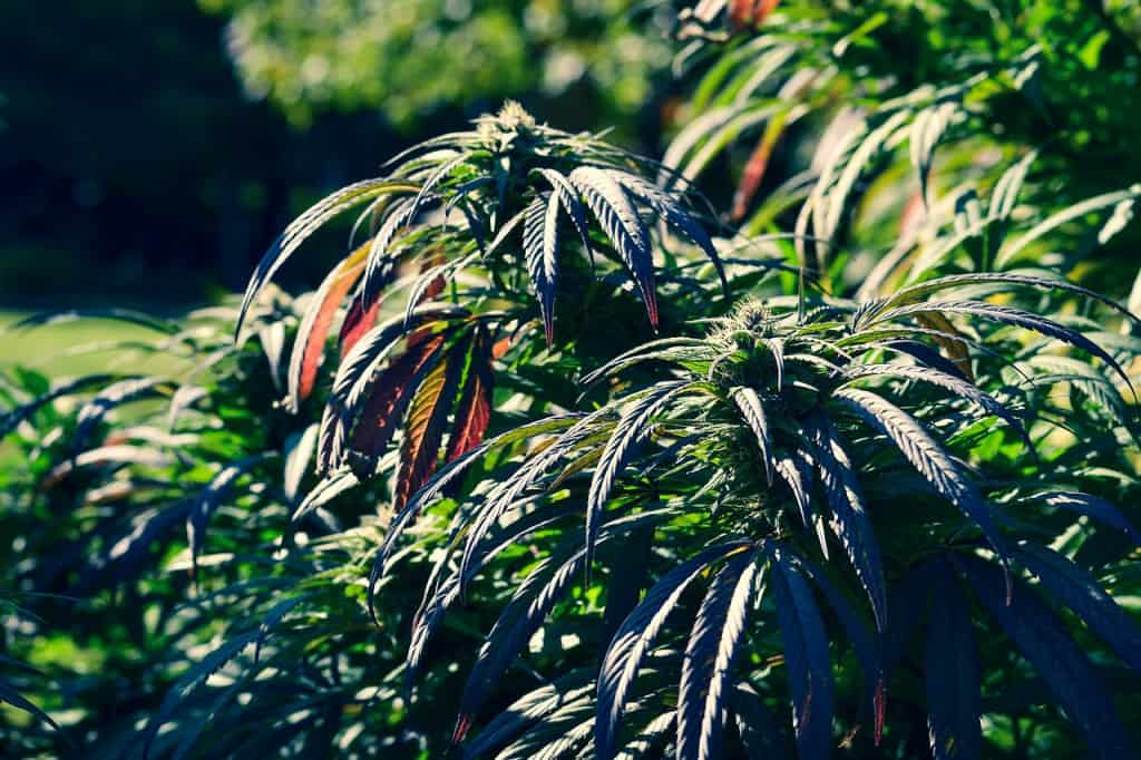 learn to grow weed at home
