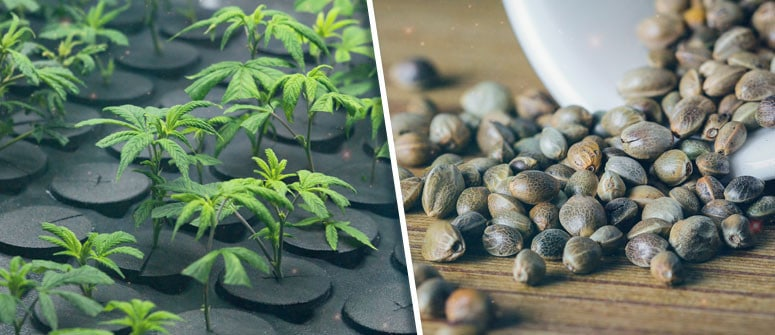 seeds vs clones cultivation