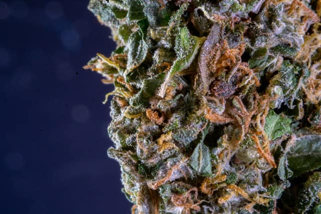 indica trichomes