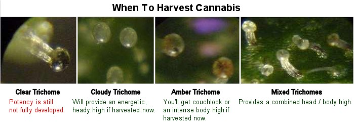 What Makes Cannabis Trichomes So Special?