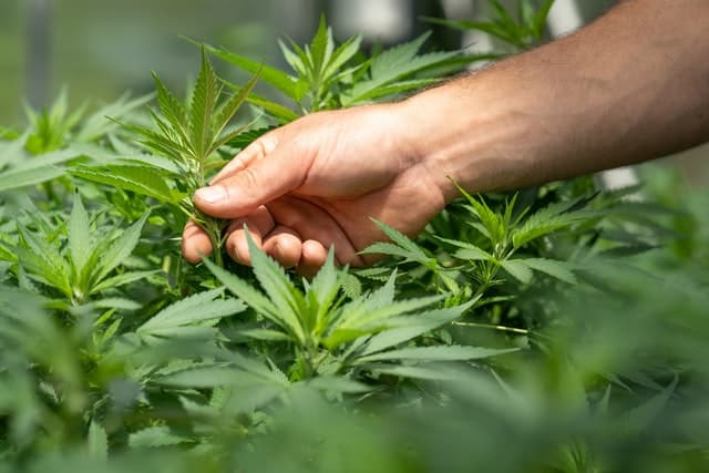 cannabis training methods compared