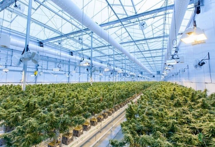 low stress training cannabis plants