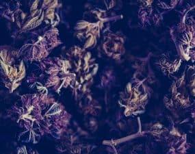 best purple weed