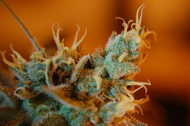 high quality cannabis flower